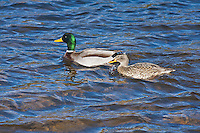 Mallards (Anas platyrhynchos) males and females swimming in a lake.