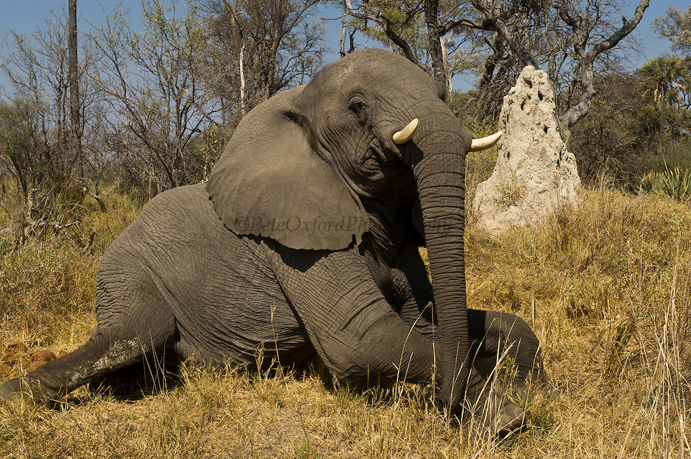 African Elephant Lying down (Loxodonta africana) Domesticated orphaned elephants from culls. Now living with Doug and Sandi Groves of Grey Matters Foundation.<br /> Moremi Game Reserve, Okavango Delta<br /> BOTSWANA<br /> IUCN STATUS: Vulnerable
