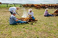 Rancher, Debra Moore, brands, cattle branding, son in law Rob Ferguson, Tom Peila, wrestle calves, Lazy TL Ranch, north of Miles City, Montana