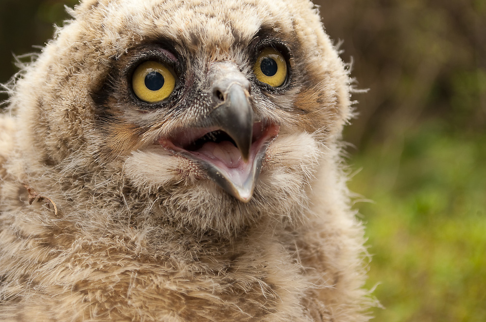 A baby great horned owl - or owlet - that had fallen or had been possibly pushed out of the nest by a parent. Huge for a chick, this one was probably old enough to fend for itself, and with parents who probably still watched and maybe even protected it from a distance for a time.
