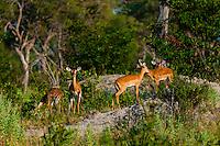 Impala, Kwando Concession, Linyanti Marshes, Botswana.