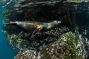 Galapagos Sealion (Zalophus wollebaeki)<br /> Española Island<br /> GALAPAGOS ISLANDS<br /> Pacific Ocean<br /> ECUADOR.  South America