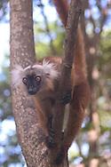 Nosy Komba, Madagascar<br /> lemur in a tree