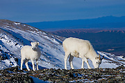 Dall's Sheep, Ovis dalli dalli, ewe and lamb, early winter, snow, alpine tundra;  scenic,  winter food: grasses & sedges on windblown ridges, inhabits mountains in Alaska and Canada; Denali National Park, Alaska, ©Craig Brandt, all rights reserved; brandt@mtaonline.net