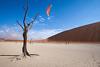 Paraglider does a spiral dive into the deadvlei, Namibia with petrified tree in foreground
