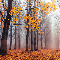 Orange misty poplar forest