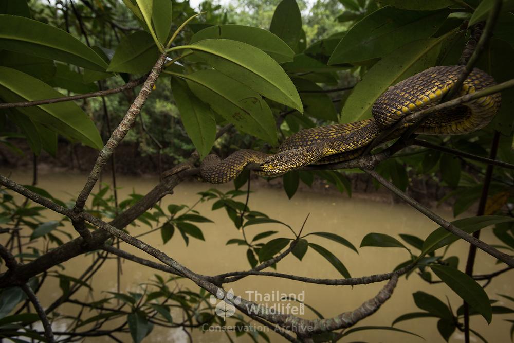 Mangrove Pit Viper (Trimeresurus purpureomaculatus) adult female in situ in Krabi, Thailand