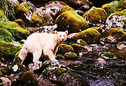 CANADA, Princess Royal Island (BC).Kermode or Spirit Bears (Ursus americanus kermodei) are rare black bears borne white due to a recessive gene in both their parents