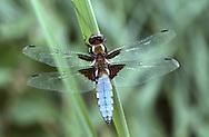 Broad-bodied Chaser male - Lilbellula depressa