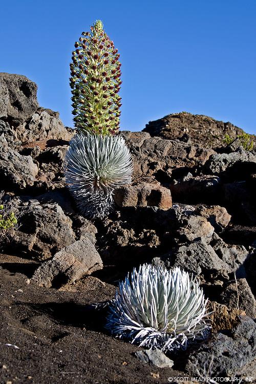 Hawaii Silversword plant in bloom on the slopes of Haleakala Volcano, Maui, Hawaii