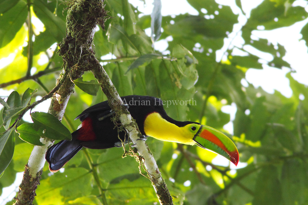 Keel-billed Toucan (Ramphastos sulfuratus) in rainforest, La Selva Biological Station, Costa Rica. <br />