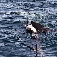 Pair of killer whales (orcas) swimming near the boat. Kenai Fjords National Park, Alaska