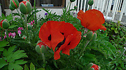 Poppy flower, Sitka, Alaska