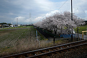 From Nagoya to Obama, Cherry blossoms
