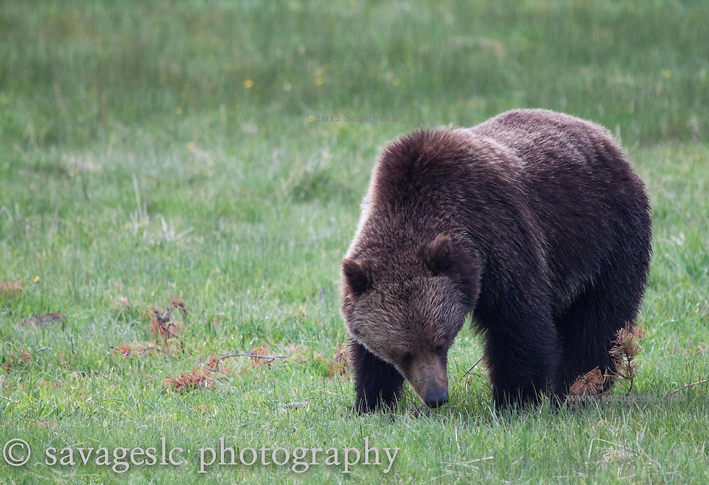 Grazing grizzly bear.