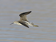 Marsh Sandpiper Tringa stagnatilis. Spring and early summer are the times when rare waders that breed in Asia turn up here. A number of possible contenders exist but the Marsh Sandpiper Tringa stagnatilis (L 22-25cm) is one of most elegant and keenly-sought; it resembles a miniature Greenshank but with a thin, needle-like bill.