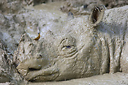 Sumatran Rhinoceros <br /> Dicerorhinus sumatrensis<br /> Cooling off in mud wallow during midday heat<br /> Sumatran Rhino Sanctuary, Way Kambas National Park, Indonesia<br /> *Critically Endangered<br /> *Captive