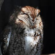 An Eastern Screech Owl, Megascops asio, sleeping in its hollow. Bergen County Zoo, Paramus, New Jersey, USA
