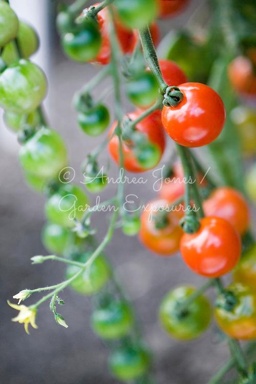 Tomato 'Gardeners Delight' (cherry type tomato)