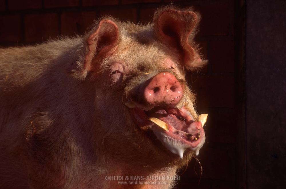 DEU, Deutschland: Hausschwein (Sus Scrofa f. domestica), erregter Eber schlägt seine Backen hurtig aneinander, erzeugt mit Pheromonen angereicherten schaumigen Speichel, so duldet die Sau die Paarung, Hauer sind sichtbar, Seedorf, Schleswig-Holstein | DEU, Germany: Domestic pig (Sus scrofa f. domestica), excited boar slapping it's jaws, producing frothy spittle enriched with pheromones, let the sow tolerate the copulation, sharp teeth are visible, Seedorf, Schleswig-Holstein |
