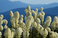 Beargrass and mountains from the Grizzly Peak Roadless Area in the Kootenai National Forest in summer. Purcell Mountains, northwest Montana.