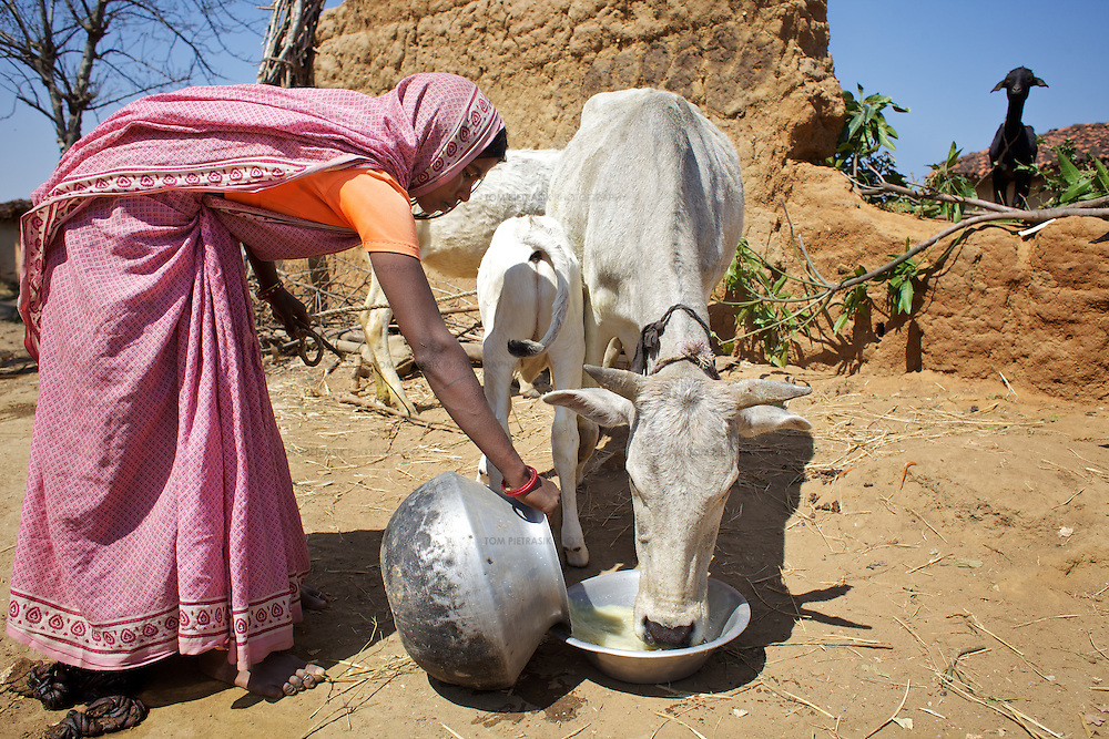 Hiralal's widow Meena Devi, 28, with two of the three cows she rears but does not own. <br /> <br /> Hiralal died, aged 30, along with 13 others from Jalhe Bogiya village in May 2005 when, compelled by hunger, he ate the rotten meat of a goat that had died two days previously. Hiralal was a day wage farm labourer but drought conditions meant that there was little work and he had not been able to find employment for the year prior to his death. He and his family regularly experienced hunger surviving on just fruit and berries. His widow Meena Devi, 28, must now provide for their three children. She lives with Hira's mother Bhikni Devi, 50, and father Nanku Bhuiyan, 55. Meena earns a living by  collecting firewood, a two day task for which she earns Rs.30. The family receives subsidized grain and kerosine for twelve days a month as part of the PDS (Public Distribution System) and the children benefit from the recently introduced daily meals provided by the local school and Anganwadi (child-care) centre. They have three cows that they do not own but rear and feed for which they are supplied milk for their own consumption. When each of the cows are sold, the Meena and her family will receive half the value raised, the rest going to the owner who is from the Yadav caste. <br /> <br /> Lack of irrigation and food security lie at the root of the Maha Dalit community's problems in the village of Jalhe Bogiya. In the exploitative and divisive caste system, Maha Dalits are considered the lowest of the low. Ostracized by wider society (including the administration) illiteracy runs as high as 95 percent. Thanks to Oxfam-supported intervention, Jalhe Bogiya now has an - as yet incomplete - access-road built as part of the NREGA (National Rural Employment Guarantee Scheme). And an Oxfam-supported initiative in summer 2010 successfully lobbied the local administration to implement the provision of school midday meals which, by law is the right of every child. It is alleged that th