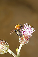 Cliff Mining-Bee - Andrena thoracica
