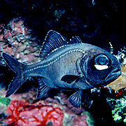 Caribbean Flashlight Fish