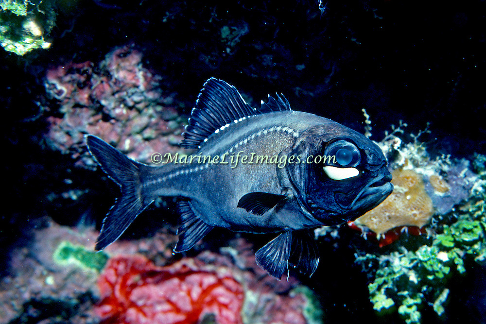 Atlantic Flashlightfish are in deep water, over 600 ft most of the time, but come to shallow water on reefs, as shallow as 40 ft., to feed on moonless nights in Caribbean and Bahamas; picture taken Grand Cayman.