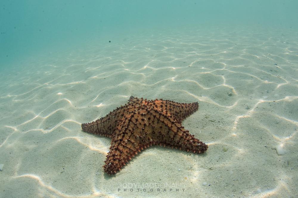 Solitary orange spiny starfish in the San Blas, Panama