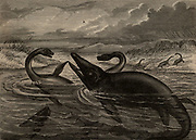 Artist's reconstruction of a Pleisiosaurus and an Ichthyosaurus.  From 'Science for All' by Robert Brown (London,  c1880).  Engraving.