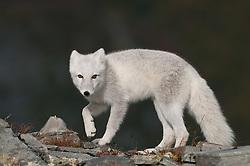 Poolvos in steengroeve; Arctic fox in stone pit