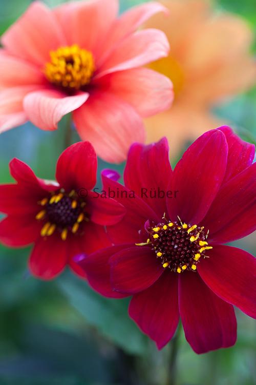 Dahlia 'Bishop's Children' - single-flowered dahlia
