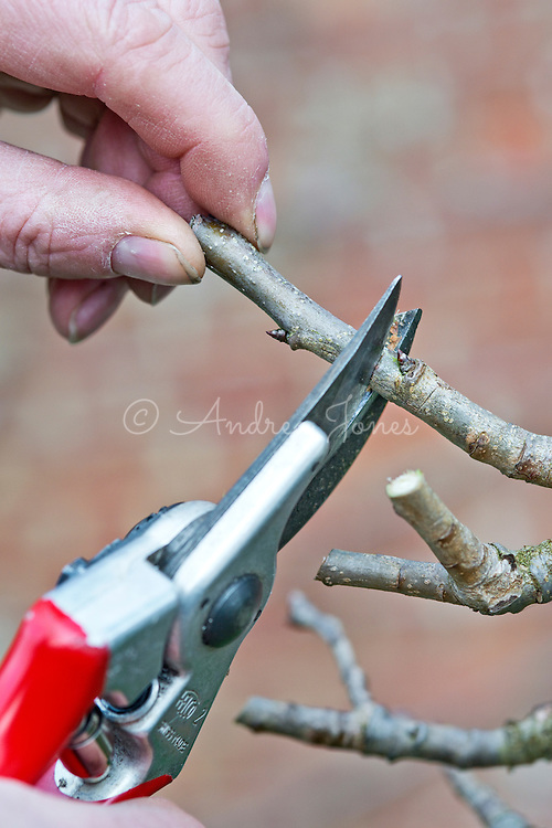 Pruning a fruit tree branch with secateurs