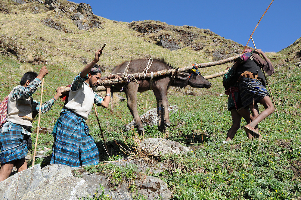To reach the meadow where they would spend the summer, the buffalo was carried up and over a a mountain pass, on a steep trail that gained nearly 3000 feet.