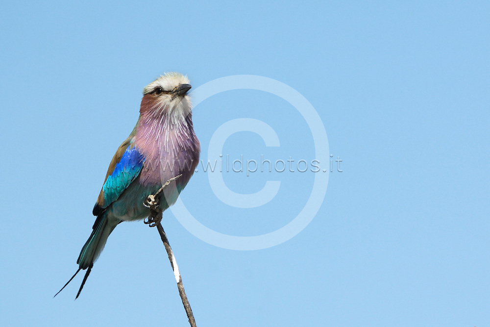 The lilac-breasted roller (Coracias caudatus) is an African member of the roller family of birds. It is widely distributed in sub-Saharan Africa and the southern Arabian Peninsula, preferring open woodland and savanna; it is largely absent from treeless places. Usually found alone or in pairs, it perches conspicuously at the tops of trees, poles or other high vantage points from where it can spot insects, lizards, scorpions, snails, small birds and rodents moving about at ground level.
