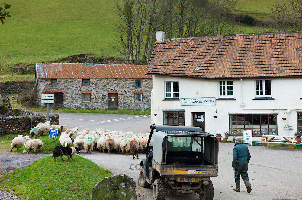 Farmer and sheep dog drive flock of sheep by Lorna Doone Farm in the Doone Valley, Exmoor, North Devon, UK