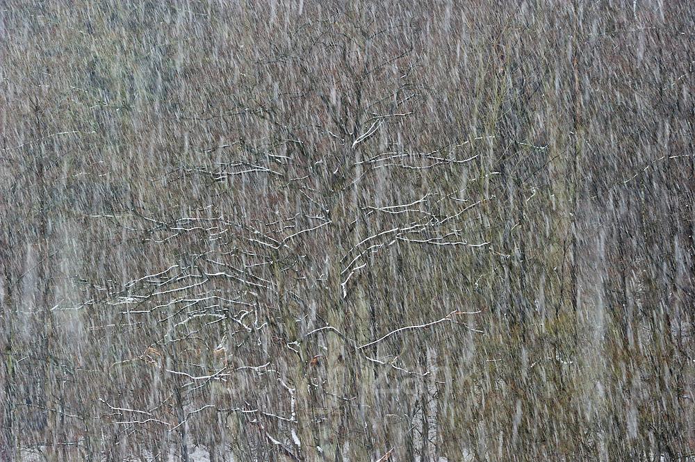 Oak in snowfall. Westensee, Kiel Germany