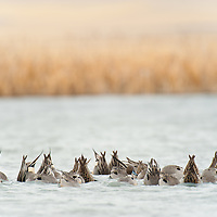 nother pintail ducks feeding with rumps out of water