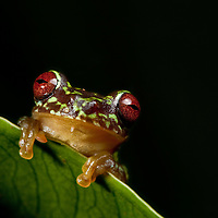 The Guatemala Brook Frog, Duellmanohyla soralia, a critically endangered species from the Sierra Caral of Guatemala.