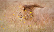 Lion walking through wildflowers