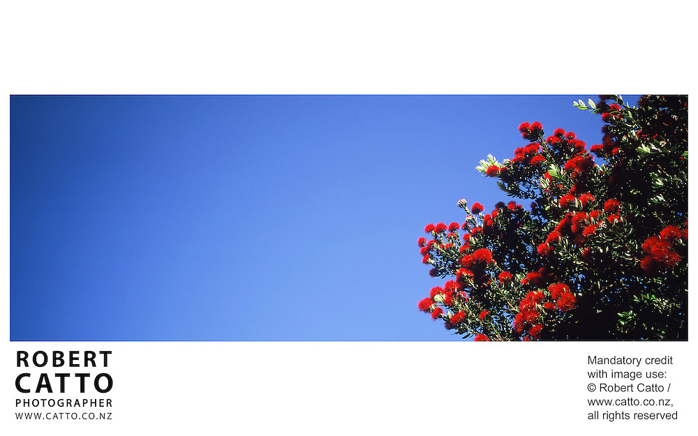 Pohutakawas in bloom at Miramar, Wellington, New Zealand.<br />