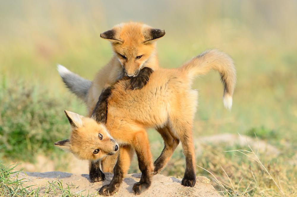 Red Fox cubs at play (Vulpes vulpes), Missoula, Montana