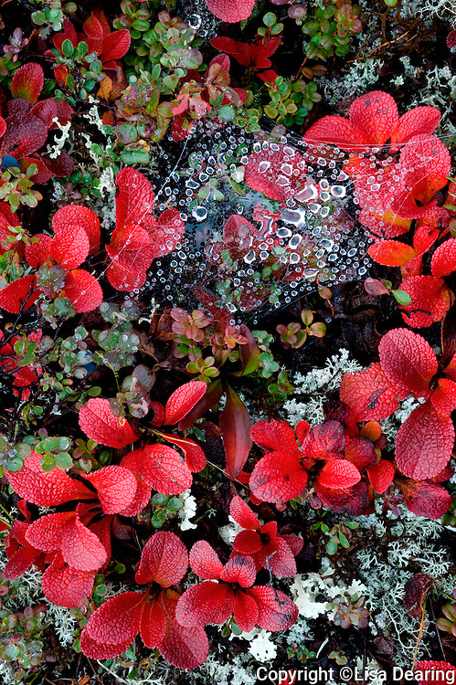 Stock photo of Spider Web in Bearberry in Autumn, Denali National Park, Alaska