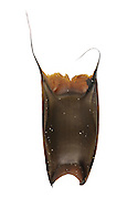 Small-eyed Ray Raja microocellata egg case length to 9cm<br /> Narrow, stongly curved capsule; has one very convex surface. Capsule narrows towards base of shortest pair of horns.