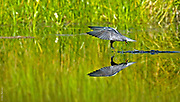 PRECISION | Black tern (Chlidonias niger) catches a tadpole on a forested lake in Blackfoot Valley, Montana