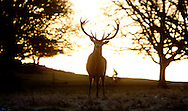 National News and Pictures<br /> Date: 29/01/15<br /> PH:  Nick Edwards<br /> Pictured: Deer in Richmond Park <br /> Caption: A cold Start to day in Richmond Park in South West London today as the whole country experiences freezing conditions and snow in some parts.