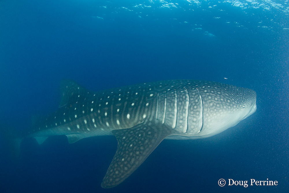 whale shark, Rhincodon typus, filter feeding on eggs released by spawning cubera snappers, Lutjanus cyanopterus, Gladden Spit & Silk Cayes Marine Reserve, off Placencia, Belize, Central America ( Caribbean Sea )