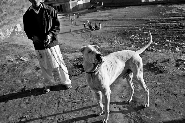 """A proud bully kutta mastiffs with his """"father"""" in countryside of Rawalpindi. Pakistan, on thursday, December 11 2008.....According to the Islamic tradition, angels do not enter a house which contains dogs. Even if they are considered """"ritually unclean"""" by the jurists, the fighting dogs of Pakistan are tolerated by institutions and by believers alike. These mastiffs are grown and trained explicitly for these matches. Spectators in this area flock-in from nearby villages whenever a famous dog is scheduled to enter the arena. And this is more than just a show: entire families base their social esteem on the results of such bloody confrontations."""