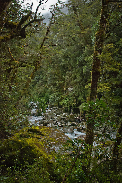 Dense SIlver Beech forest overhangs mounds of rocks and boulders in Roaring Burn, Milford Track, New Zealand